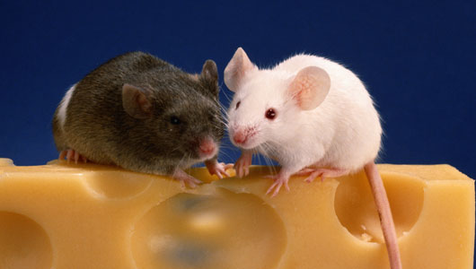 Mice & Rodent Control - Rotorua Pest Control Services
