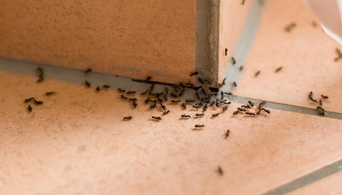 Ant Control Rotorua - Bay Pest Services