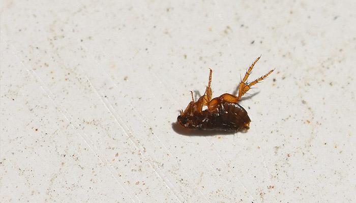 Flea Control - Get Rid of Fleas Rotorua - Bay Pest Services
