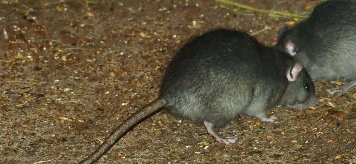 Rats Problem Rotorua