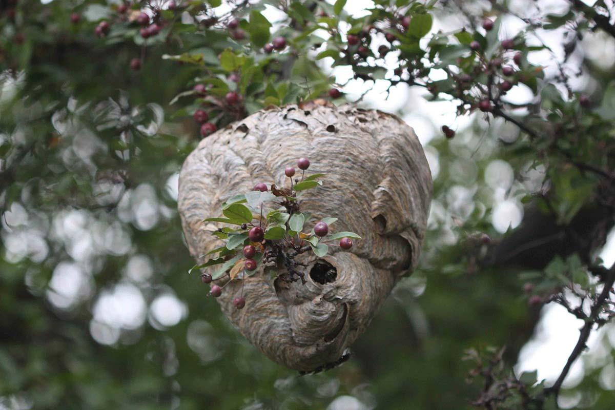 Wasps Bay of Plenty - Rotorua Pest Control